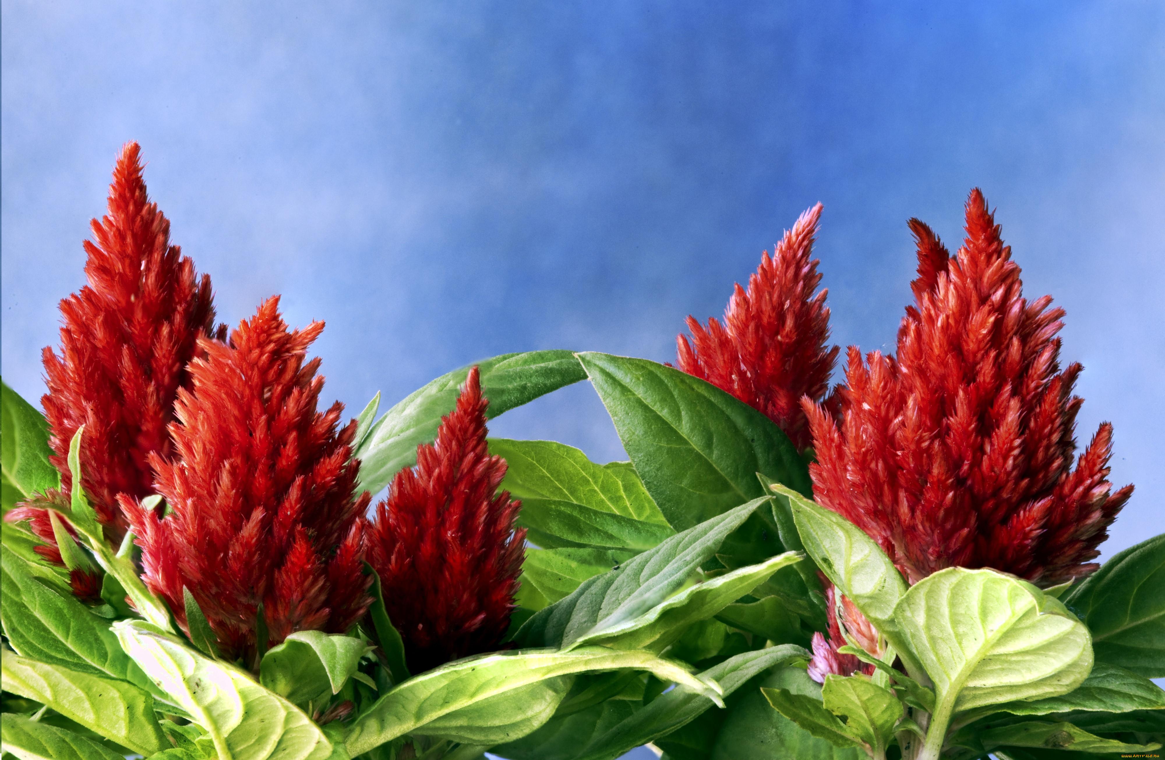 Цветы амарант в картинках